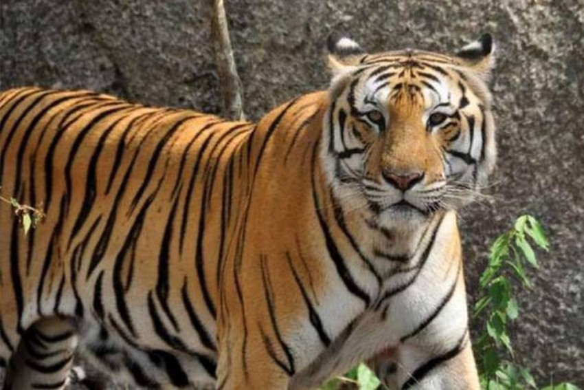 Telangana Requests the Interventions of NTCA and WII to Tackle the Human-Tiger Conflict